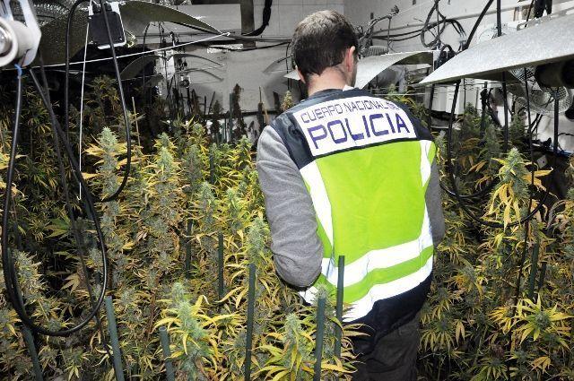 Cuatro detenidos por cultivo de marihuana