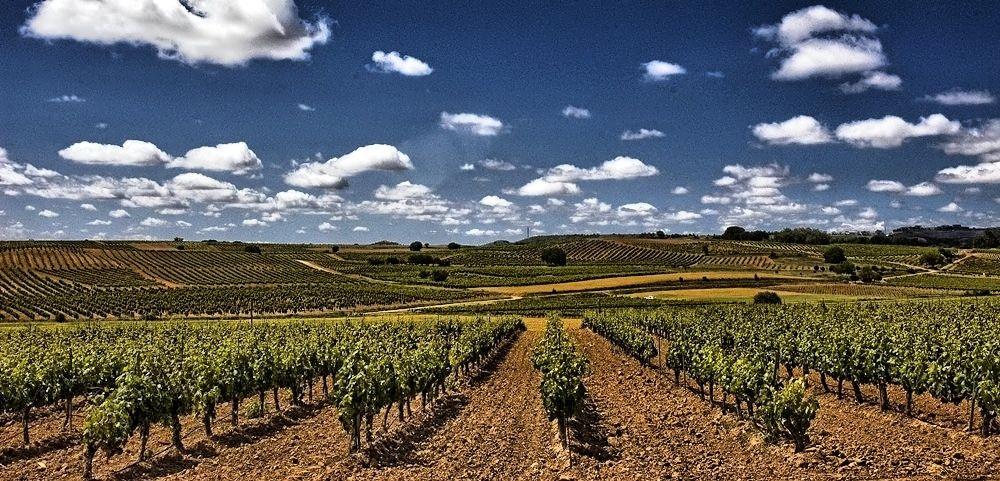 Extremadura ha recibido 15,8 millones de euros para la reestructuración de viñedo durante 2019