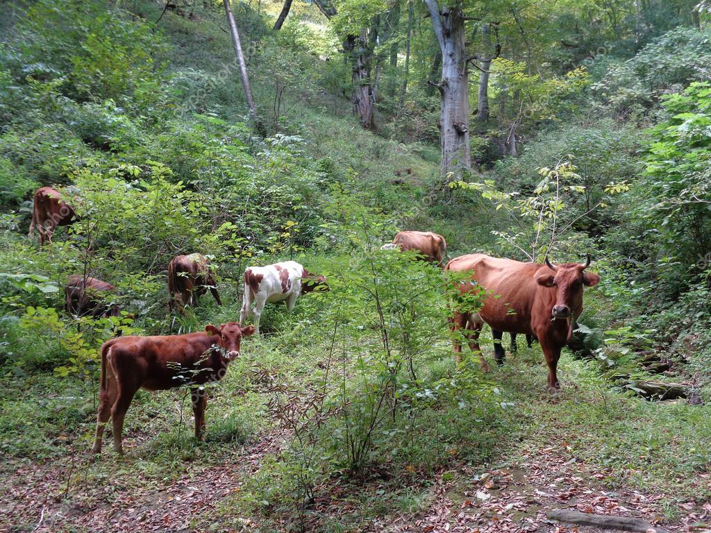 Las vacas bombero son una garantía para reducir el impacto de los incendios forestales en España