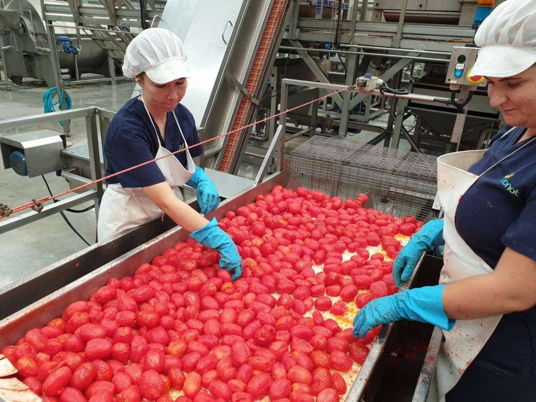Consejera García Bernal: El sector tomatero extremeño es un referente para la economía extremeña