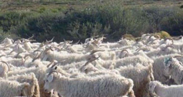 Se desarrollará un plan estratégico del caprino