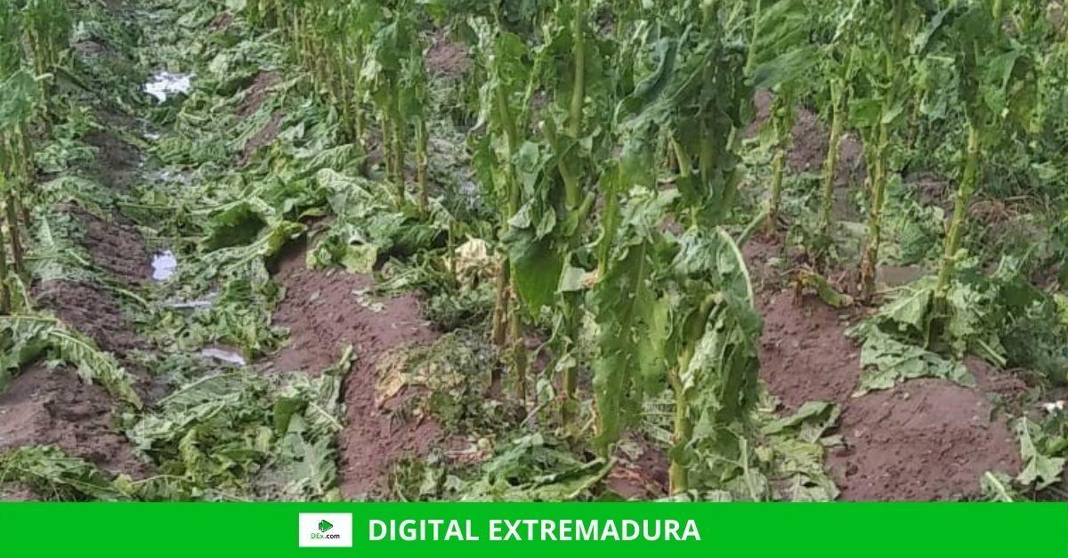 Asaja Extremadura alerta de que una tormenta de granizo arruina la cosecha de tabaco en plena campaña de recogida